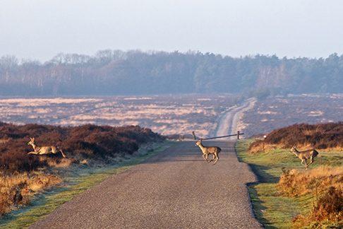 Prachtige omgeving op de Veluwe rondom Recreatiepark De Boshoek, zelfs met herten en reeen!