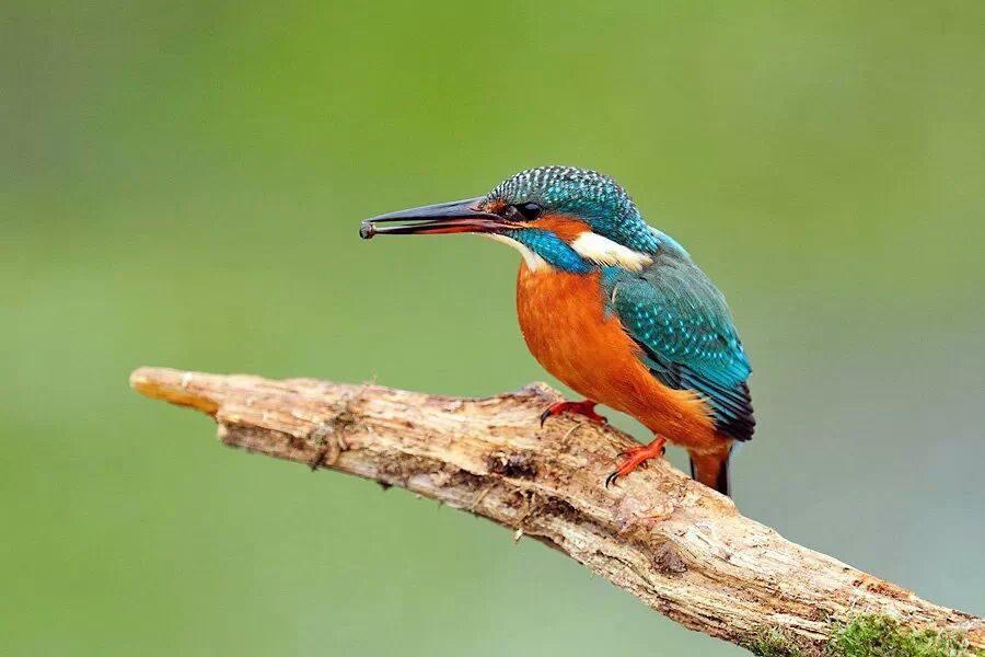 IJsvogel - klein kleurenspektakel