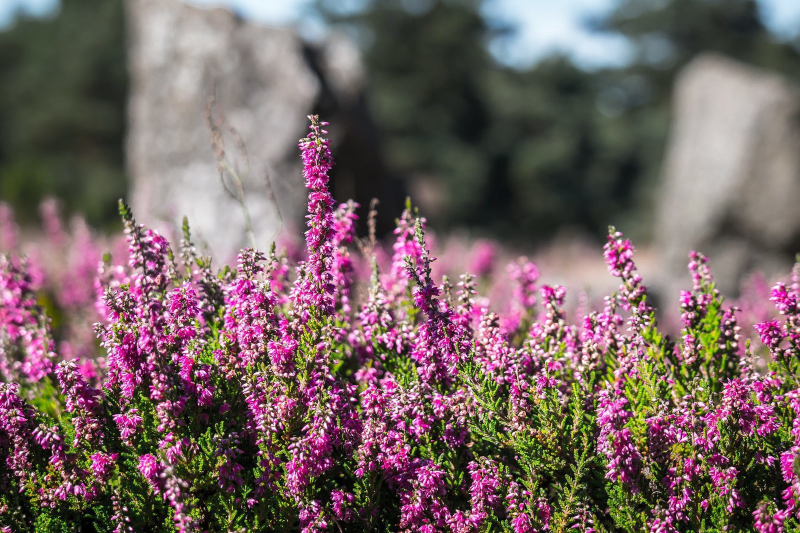 De Veluwe in bloei: de Ginkelse Heide